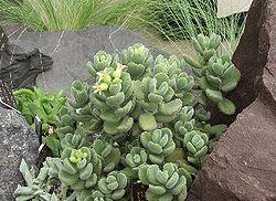 Cotyledon Orbiculata Flanaganii
