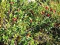 Cowberries, Sweden.jpg