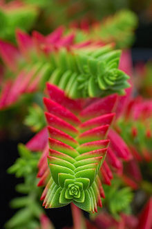 Crassula capitella 2.jpg