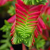 Crassula capitella 2 edit.jpg