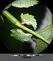 Crataegus laevigata (subsp. laevigata) sl1.jpg