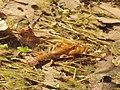 Crayfish P4140084.jpg
