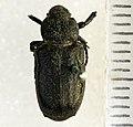 Cremastocheilus knochii LeConte, 1853 - 5435762277.jpg