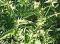 Crepis setosa leaf (11).jpg