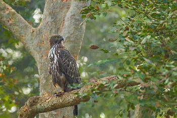 Crested Hawk Eagle-7455.jpg