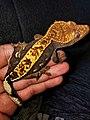 Crested gecko juvenile.jpg