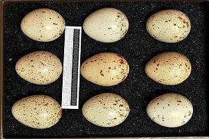 Corn crake - Eggs, Collection Museum Wiesbaden
