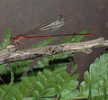 Crimson Hawaiian damselfly by Dan Polhemus (7981002650).jpg