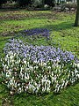 Crocus in West Park - geograph.org.uk - 1184638.jpg