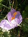 Crocus nudiflorus RHu close-up.JPG