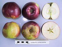 Cross section of Adamsapfel Ostpreussischer, National Fruit Collection (acc. 1951-162).jpg