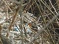 Crvendać (Erithacus rubecula); European Robin.jpg