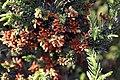 Cryptomeria japonica Black Dragon 1zz.jpg