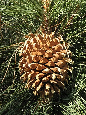 Coulter pine - A Pinus coulteri seed cone at Mount Wilson, .