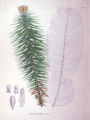 Cunninghamia sinensis SZ105.png