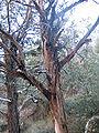 Cupressus glabra tree.jpg