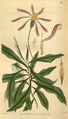 Curtis's Botanical Magazine, Plate 3115 (Volume 58, 1831).png