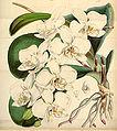 Curtis's Botanical Magazine, Plate 4297 (Volume 73, 1847).jpg