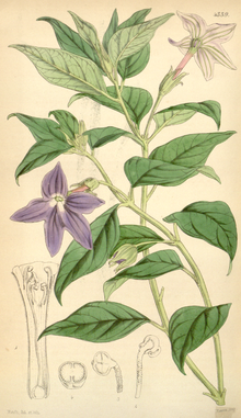 Curtis's Botanical Magazine, Plate 4339 (Volume 73, 1847).png