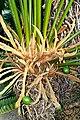 Cycas circinalis - Shinjuku Gyo-en Greenhouse - Tokyo, Japan - DSC05922.jpg