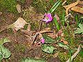 Cyclamen pseudibericum opening.jpg
