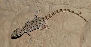 <i>Cyrtopodion scabrum</i> Species of lizard