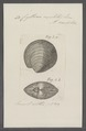 Cytherea exoleta - - Print - Iconographia Zoologica - Special Collections University of Amsterdam - UBAINV0274 078 01 0038.tif