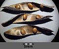 Cytisus nigricans sl1.jpg