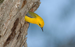 Prothonotary warbler - Image: D8G7D2390
