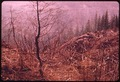 DOUGLAS FIR TREES KILLED BY HEAT FROM FIRE IN SLASH BURNING ON THE ADJACENT CLEAR-CUT AREA IN OLYMPIC NATIONAL... - NARA - 555113.tif