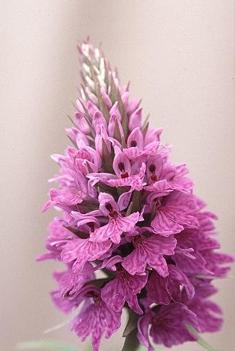 Dactylorhiza fuchsii - D. f. subsp. hebridensis