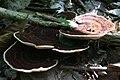 Daedaleopsis confragosa 20100919wa.JPG