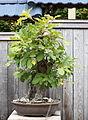 Daimyo Oak, GSBF-CN 115, September 12, 2008.jpg