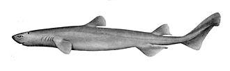 Squaliformes - Image: Dalatias licha 1