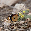 Danaus chryssipus - African Monarch-1250 - Flickr - Ragnhild & Neil Crawford.jpg