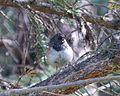Dark-eyed Junco. Oregon form. Junco hymalis (1) - Flickr - gailhampshire.jpg