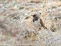 Dark-throated Thrush (Turdus ruficollis) (45487851574).jpg