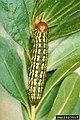 Datana major larva2.jpg