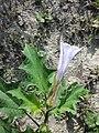 Datura stramonium var. tatula sl25.jpg