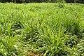 Dawabio-elephant-grass-recettes-naturelles-par-les-plantes. - Copie (2).jpg