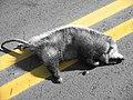 Dead Opossum.jpg