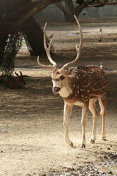 Deer india.jpg