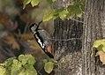 Dendrocopos syriacus - Syrian Woodpecker, Adana 2017-12-10 05-1.jpg