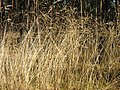 Deschampsia-flexuosa-01.jpg