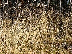 Deschampsia flexuosa - Image: Deschampsia flexuosa 01