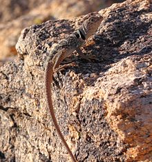 Desert Collared Lizard