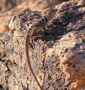 Great Basin collared lizard - Desert collared lizard