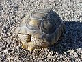 Desert Tortoise - panoramio (1).jpg