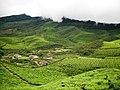 Devikulam beautiful Tea Plantations - panoramio (1).jpg