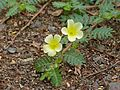 Devil's Thorn (Tribulus terrestris) (11884273406).jpg